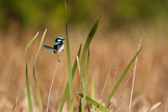 Superb-fairy wren Royalty Free Stock Images
