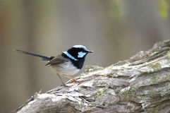 Superb Fairy-wren Stock Image