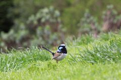Superb Fairy-wren bird on lawn Stock Image