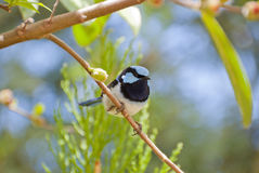 Superb Fairy-wren on branch looking. Blue headed Fairy wren (malurus cyaneus) common in Australia Stock Photos