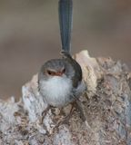 Superb Fairy Wren Stock Images