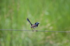 Superb Fairy-Wren (Malurus Cyaneus) Royalty Free Stock Image