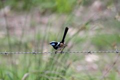 Superb Fairy-Wren (Malurus Cyaneus) Royalty Free Stock Photography