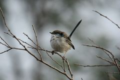 Superb Fairy-Wren (Malurus Cyaneus) Stock Photography