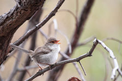 Superb Fairy-wren (Malurus cyaneus) Stock Photo