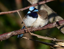 Superb fairy wren mating pair. A pair of Superb fairy wrens at sunrise in Queensland, Australia Stock Photos