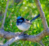 Superb Fairy Wren on a windy day stock photography