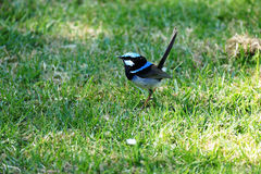 Superb fairywren Stock Photo