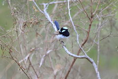 Superb Fairywren Royalty Free Stock Images