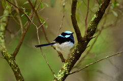 Superb fairywren. Sit on a tree branch near the Jenolan Caves athe the Blue Mountains in New South Wales, Australia Royalty Free Stock Photo