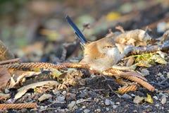 Superb felik gärdsmyg, fågel för blå gärdsmyg för tonåring som manlig söker efter föda för foo Royaltyfria Foton