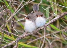 Superb felika gärdsmygfågelungar Royaltyfri Fotografi