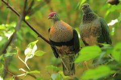 Superb fruit dove Stock Photo
