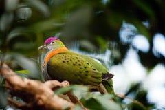 Superb Fruit dove Royalty Free Stock Photo