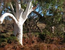 Superb Ghost Gum, growing in a Creek that only flows once every Three years. stock images
