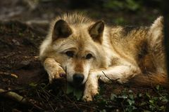 Superb Grey Wolf Laying In Wait Stock Photos