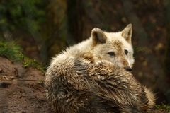 Superb Grey Wolf Laying In Wait Royalty Free Stock Photography