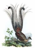 Superb Lyrebird Stock Photo