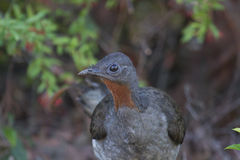 Superb Lyrebird (Menura Novaehollandiae) Stock Photos