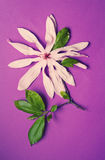 Superb magnolia flower on a purple background Royalty Free Stock Photo