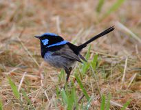 Superb Male Blue Wren. Superb Blue wren or fairy wren feeding in grasslands in southern Victoria Stock Photography