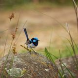 Superb Male Fairy Wren Royalty Free Stock Images