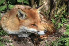 Superb natural close up of red fox Stock Photography