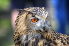 superb övre för tät owl för örn europeisk royaltyfri foto