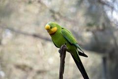 superb papegoja Arkivfoto