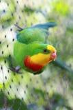 superb papegoja Arkivfoton