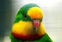The Superb Parrot Royalty Free Stock Images