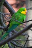 Superb parrot (Polytelis swainsonii). Royalty Free Stock Photos