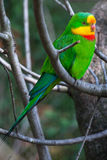 Superb parrot (Polytelis swainsonii). Superb parrot (Polytelis swainsonii), also known as the Barraband's parrot.  Wildlife animal Royalty Free Stock Image