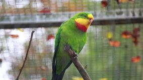 Superb Parrot stock video footage