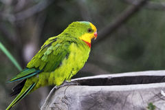 Superb parrot (side face) Royalty Free Stock Image