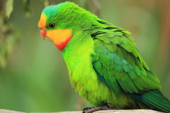 Superb parrot Royalty Free Stock Image