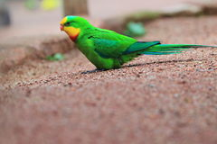Superb parrot Stock Photos