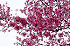 Superb Pink Cherry Blossoms in Springtime Stock Image