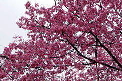 Superb Pink Cherry Blossoms in Springtime. Stock Photography