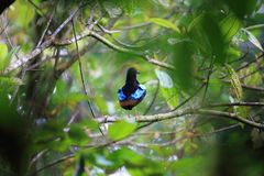 Superb pitta Royalty Free Stock Images