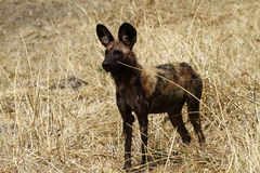 Superb Specimen of an African Wild Dog Stock Image