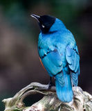 Superb Spreo Starling Stock Images