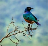 Superb Starling. Stock Images