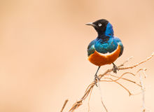 Free Superb Starling Royalty Free Stock Photos - 16591468