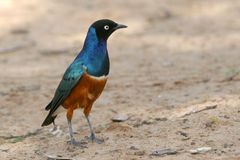 Superb Starling. Portrait of Superb Starling, Lamprotornis superbus Royalty Free Stock Photo