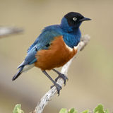 Superb Starling, Stock Photos