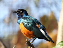 Superb starling Royalty Free Stock Photography
