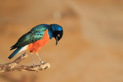 Free Superb Starling Royalty Free Stock Images - 45800069