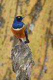 Superb starling, African and colored bird Royalty Free Stock Photo