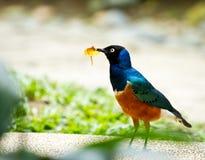 Superb Starling. Beautiful looking Splendid Starling stock images